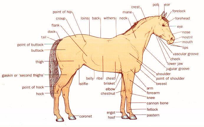 Horse Anatomy And Health